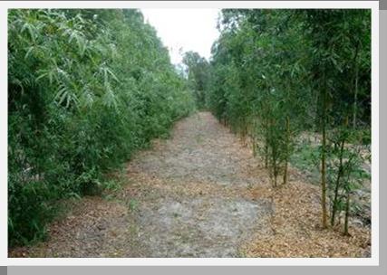 Winter Park Bamboo Nursery 407 777 4807