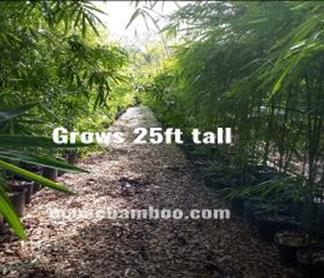 Graceful Bamboo Plants, 3 Gallon , 7 gallon, 15 gallon bamboo